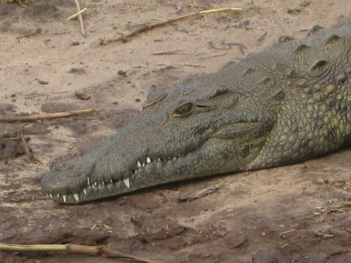Alligator in Africa