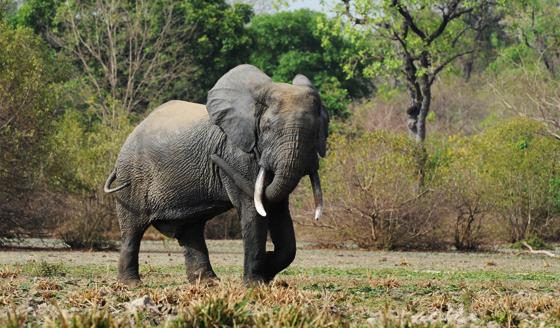 African Elephant in Mole Park, Ghana