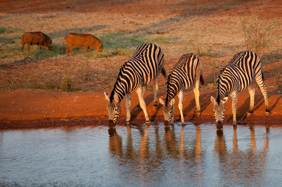 Kruger National Park Zebras