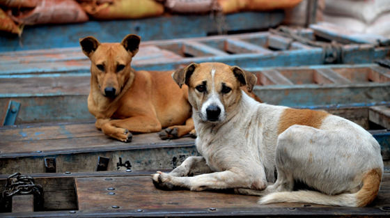 Dogs in New Delhi, India
