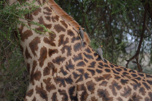 Photo by Janelle Huerta - Birds on a Giraffe