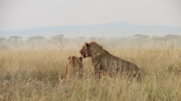 Photo by Patricia Kolodnicki - Two Lions overlooking the Serengeti