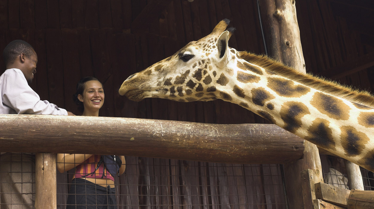Giraffe feeding in Kenya