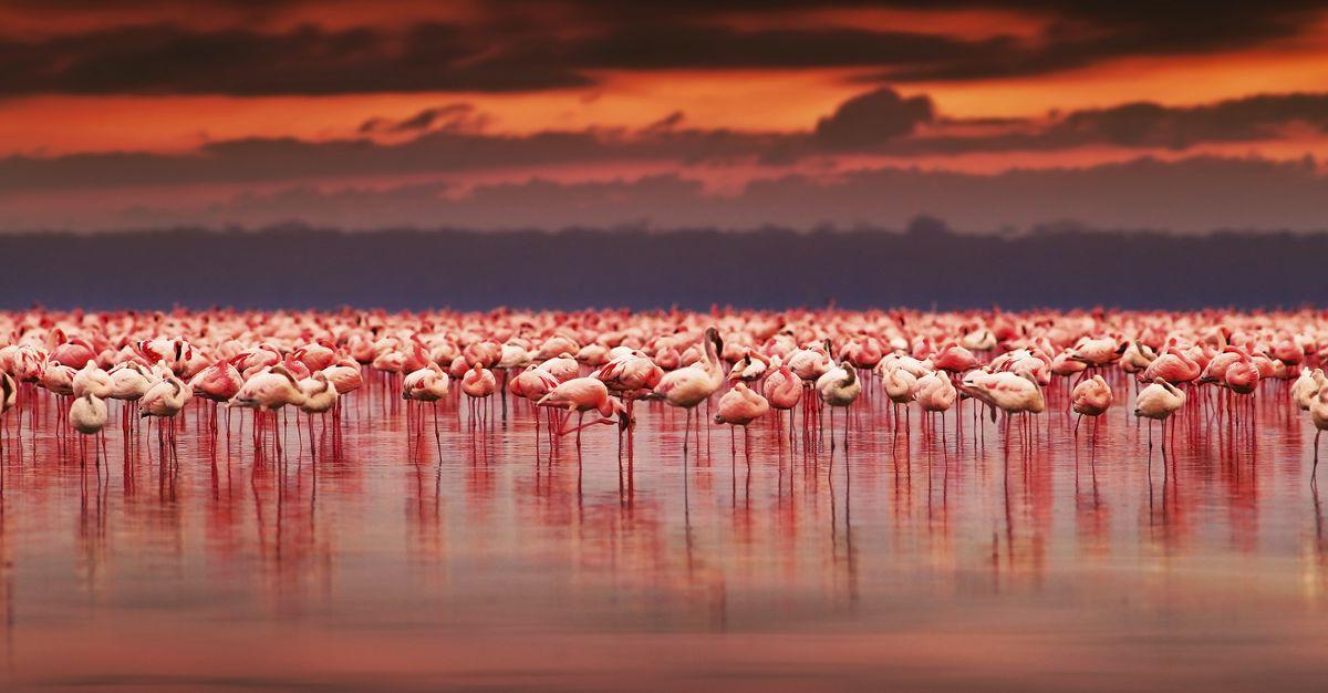 Timor Flamingos