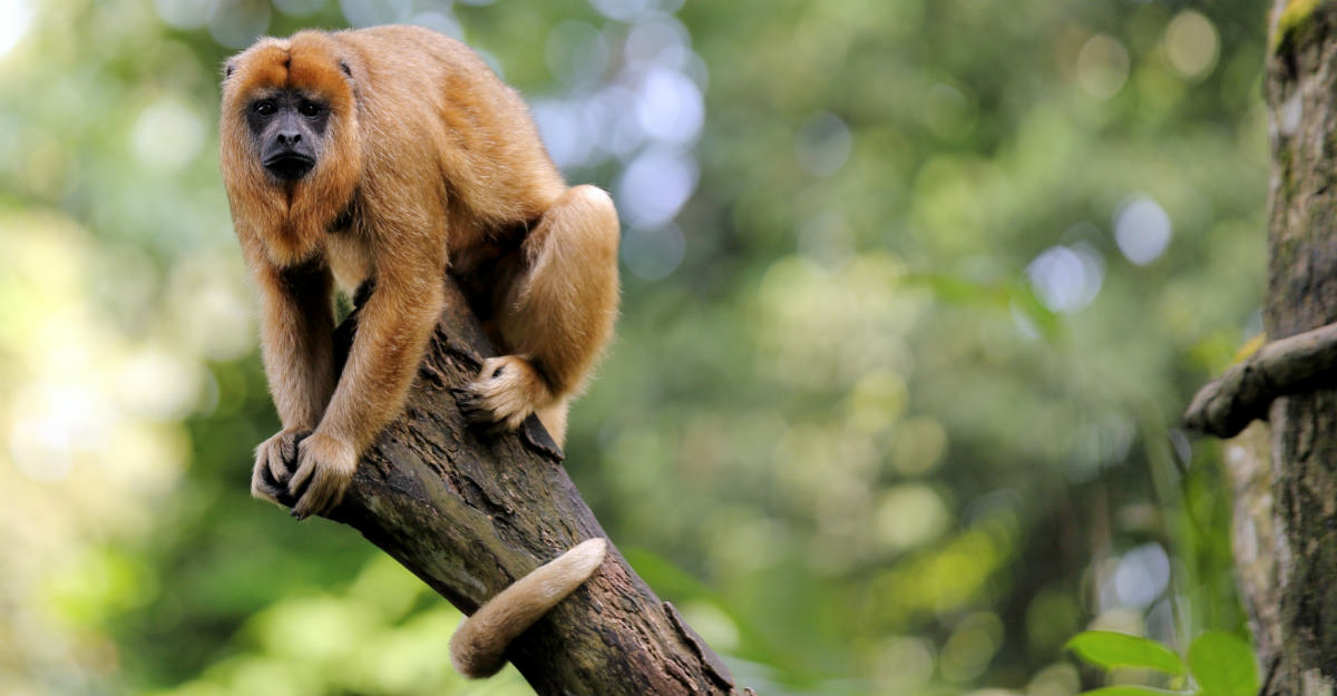 Howler monkeys started dying throughout the rainforest, a sign that yellow fever problems to come.