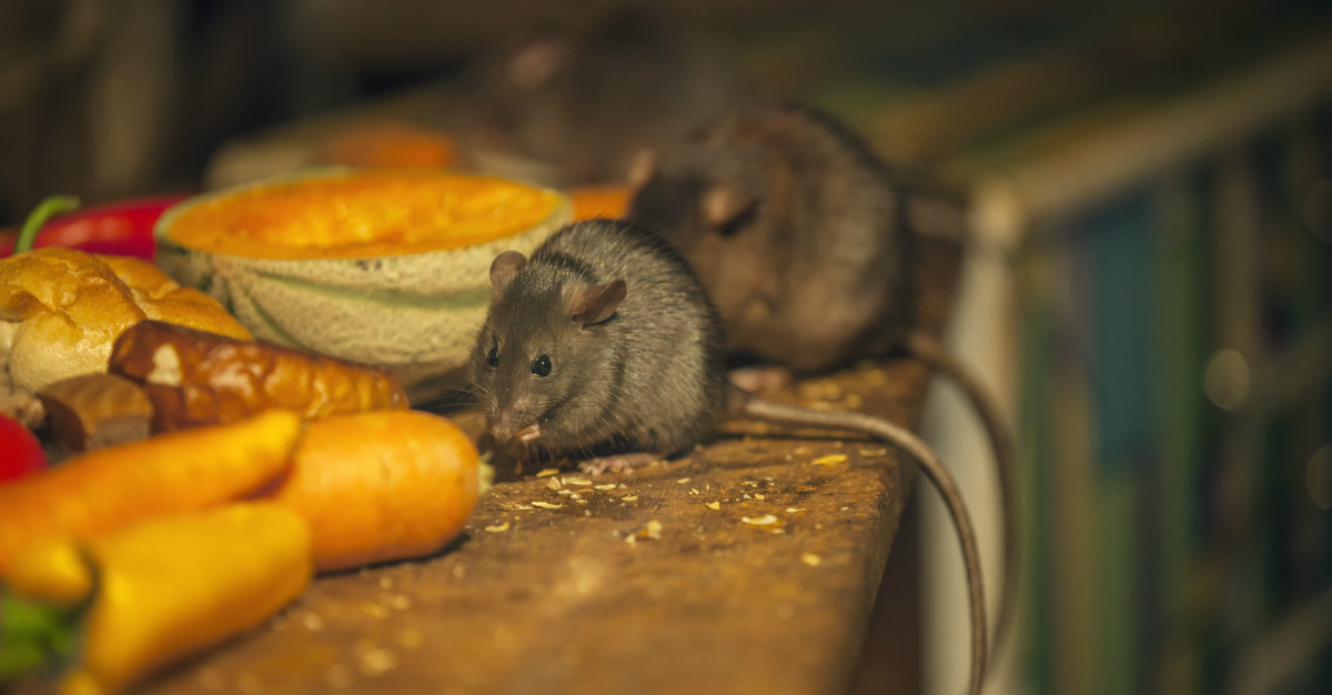 Rats get most of the blame, but fleas also contributed greatly to catastrophic pandemic.