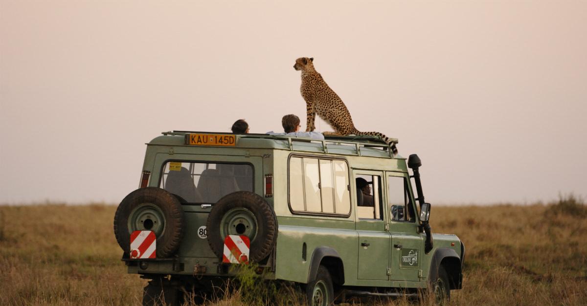 Cheetah on safari