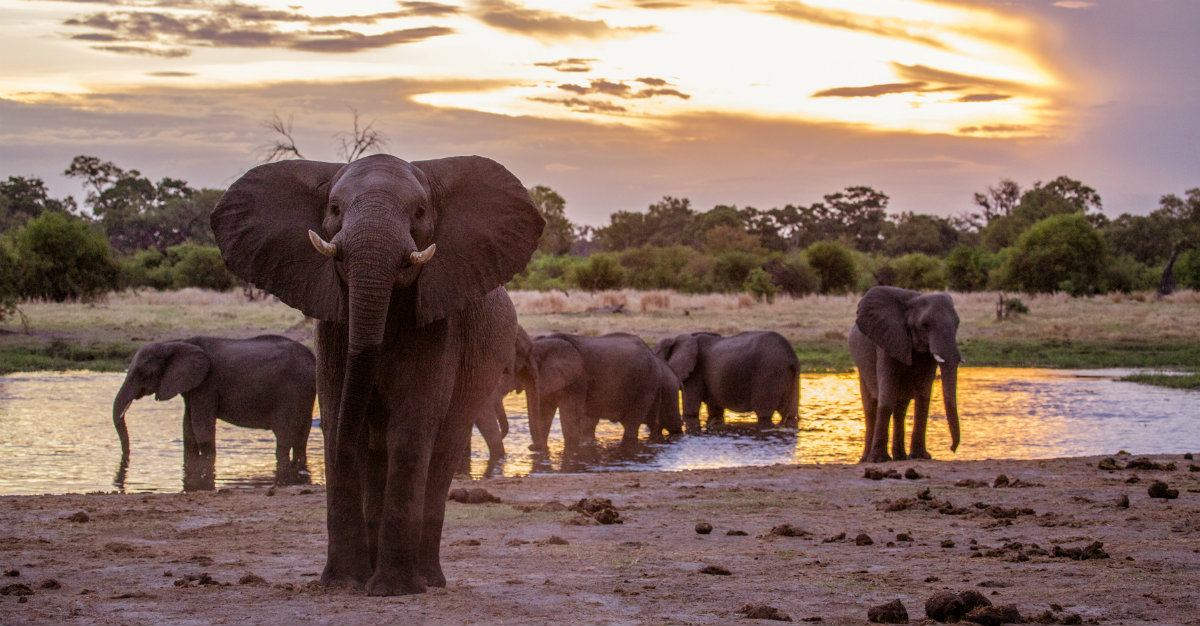 Botswana's strict policy against hunting makes the country a sanctuary for elephants.