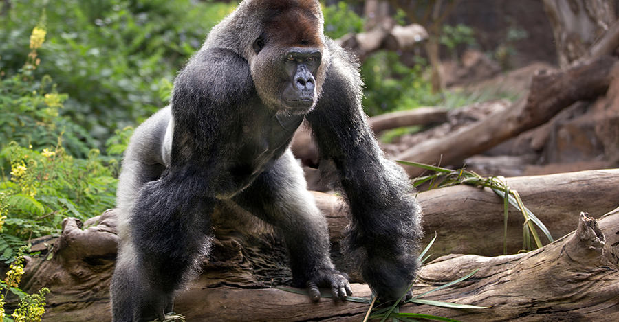 Gorillas are just some of the animals you will see in beautiful CAR. Make sure you explore them safely with travel vaccines and advice from Passport Health.