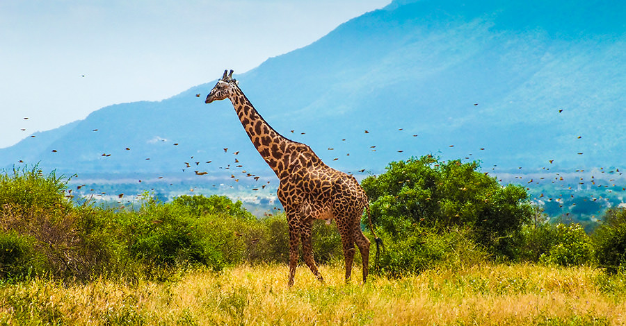 Giraffes and more surround the areas of Kenya. Make sure you explore them safely with travel vaccines and advice from Passport Health.