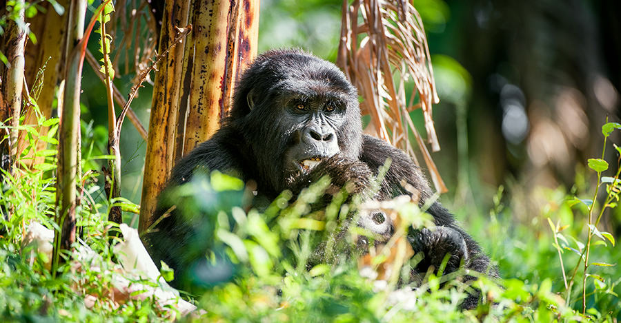 Rwanda's gorilla population is among the best in the world.