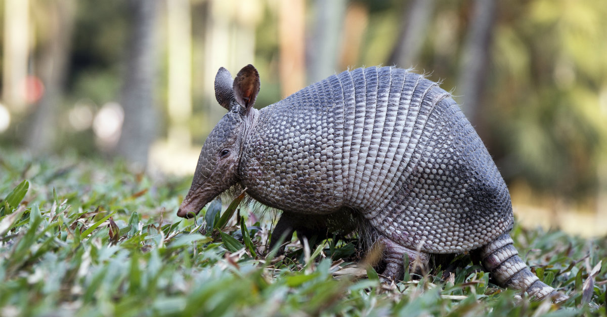 An armadillo's body temperature is similar to that of a human, with both mammals built to carry leprosy.