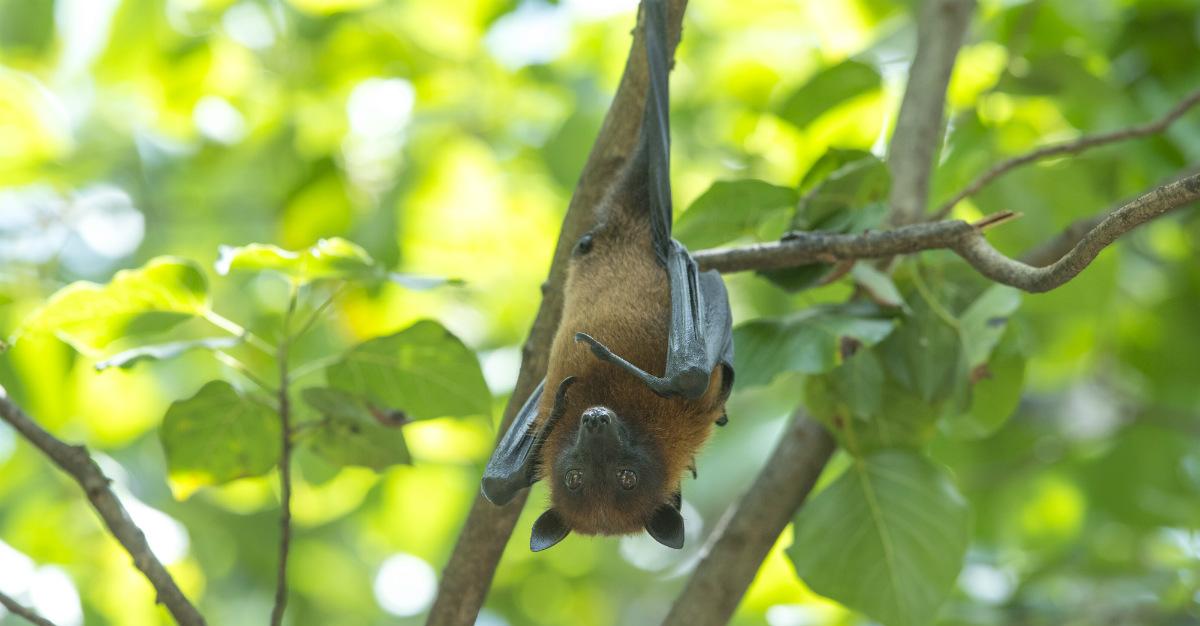 Spread via bats, Marburg is considered a cousin to Ebola.