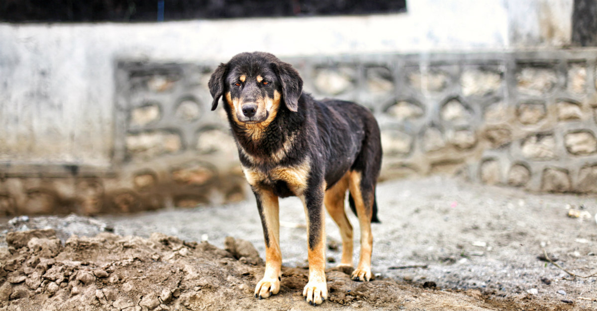 Stray dogs may be more dangerous than travelers expect.