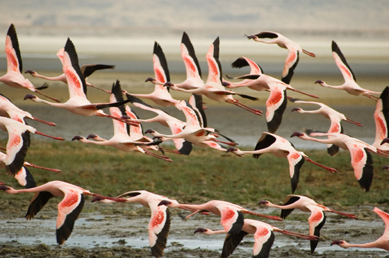 Flamingos flying Ngorongoro crater, Tanzania