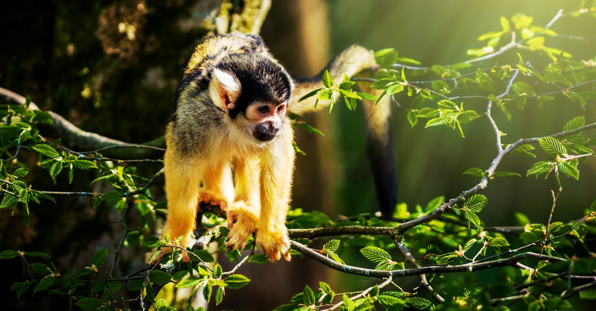 Wild monkeys can carry Zika, making it harder to eradicate the virus in the Americas.