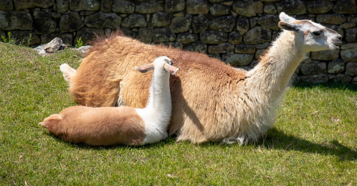Llamas may help us fight against the flu.