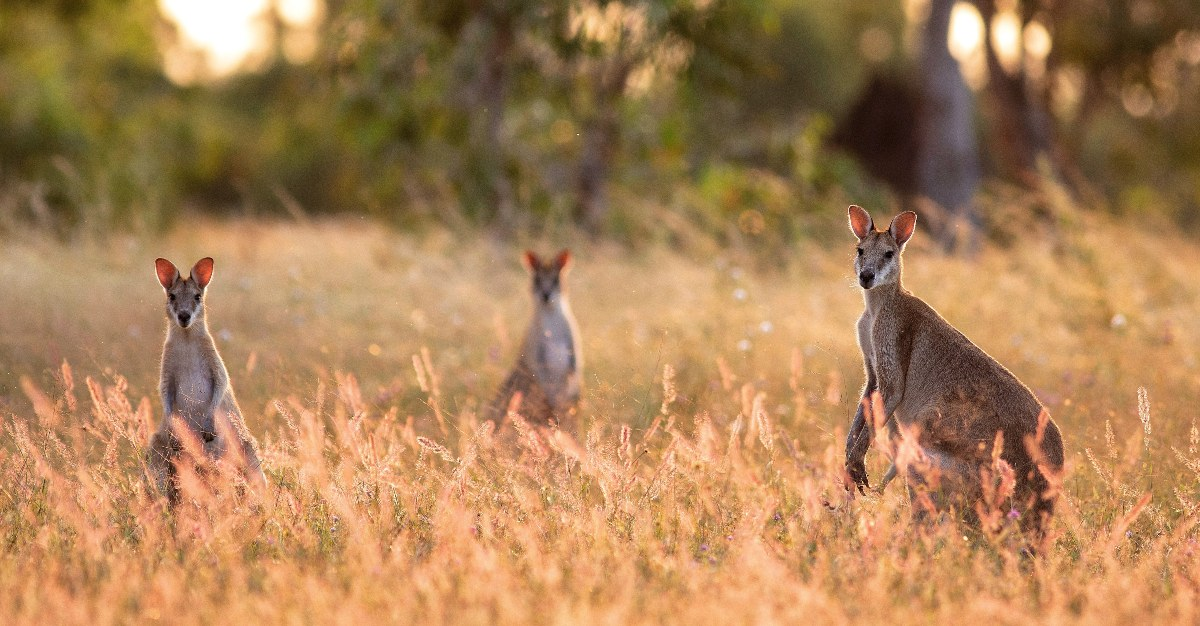 Dead end hosts like kangaroos can keep Ross River virus from spreading.