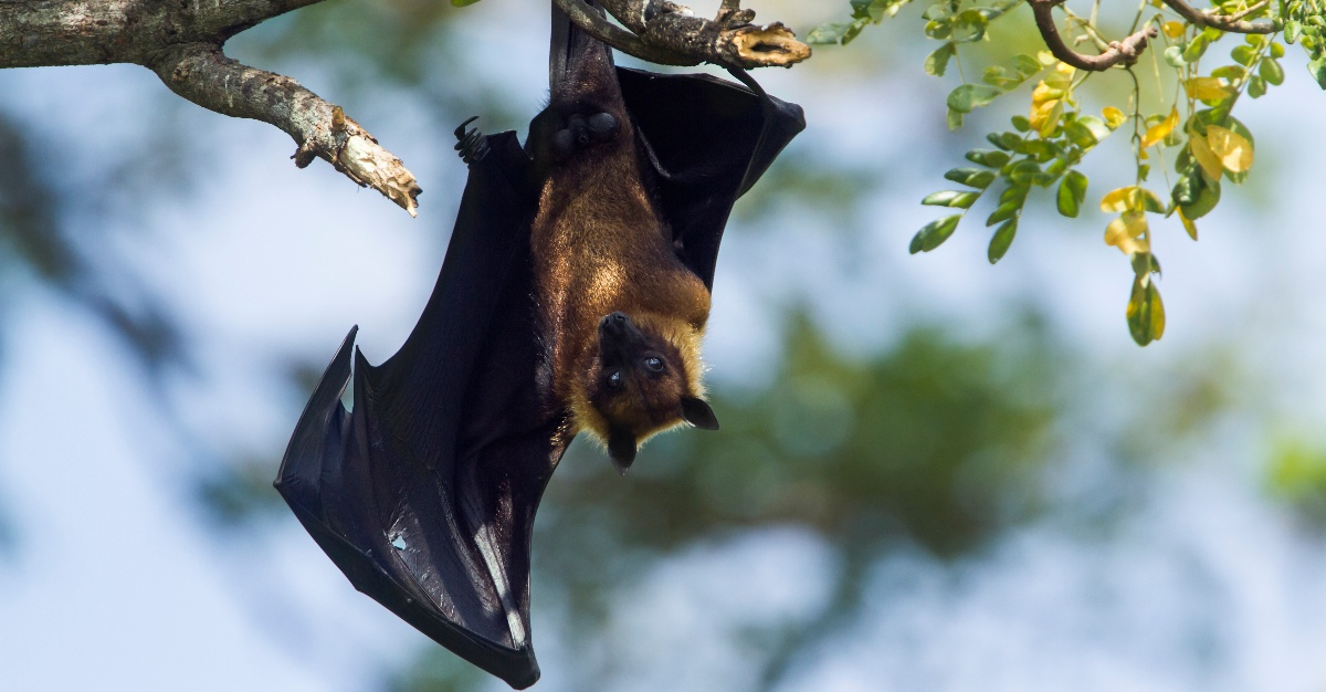 An infected man has India at risk of a Nipah virus outbreak.