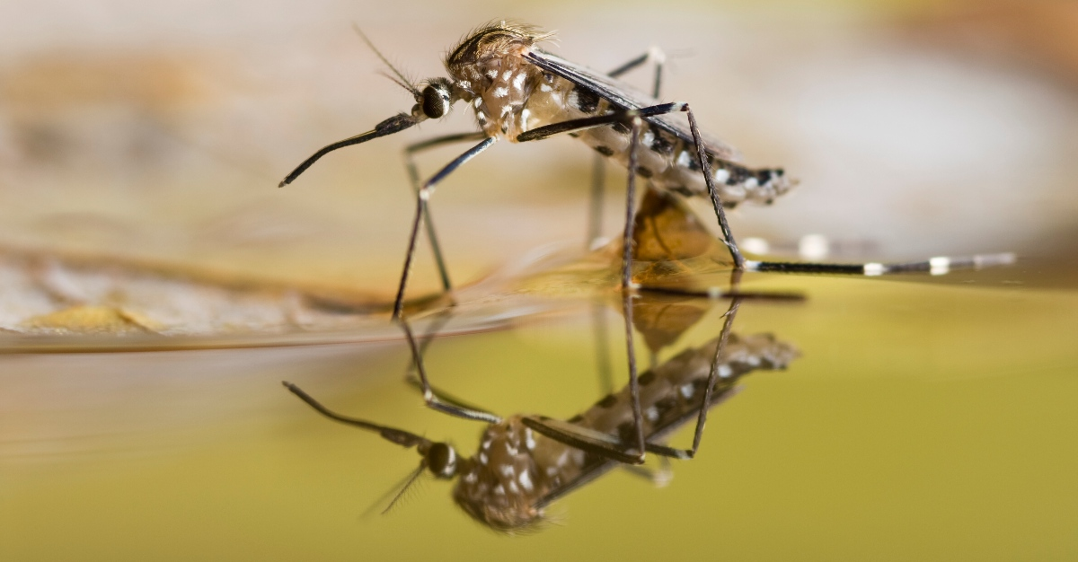 Scientist will try sterilizing mosquitoes to slow the diseases they spread.
