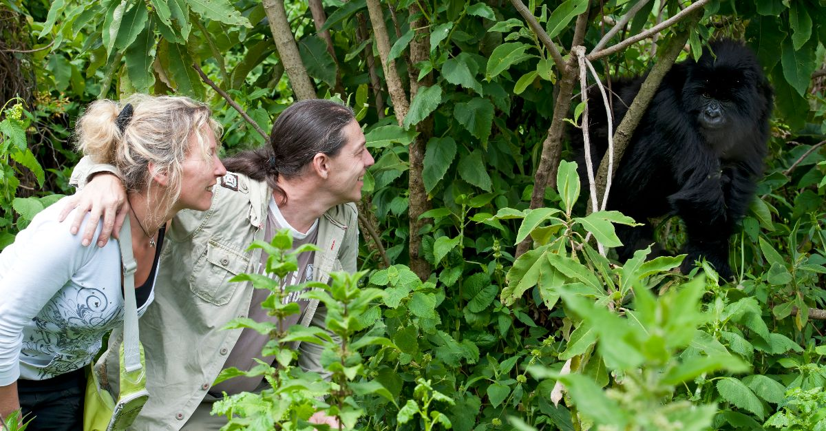 Tourists trying to get close to wild gorillas are putting the animals' health in danger.