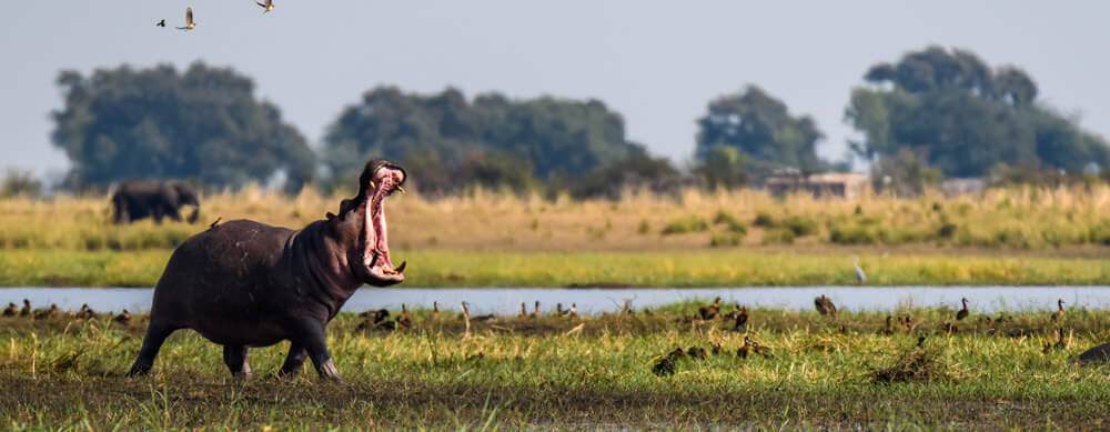 Hippos and other wildlife are all over Botswana. See them worry-free with the help of travel vaccinations and more from Passport Health.